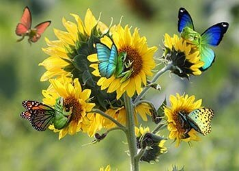 Butterflies on sunflowers background